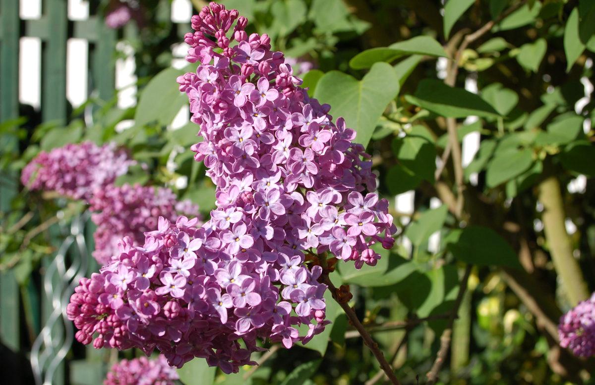Syringa vulgaris (Flieder)