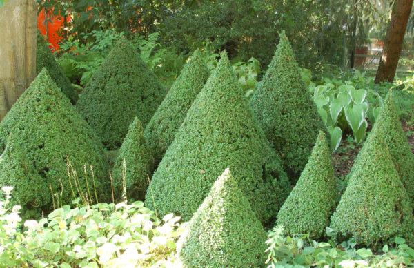 Buxus Pyramide