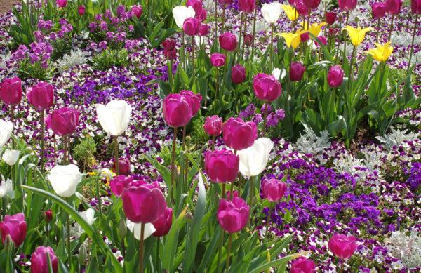 Tulipa (Tulpe)