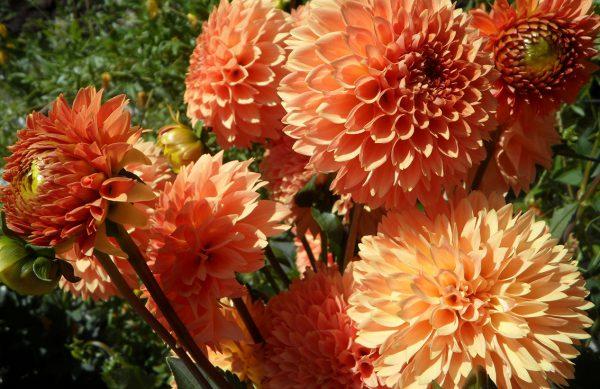 Dahlien - Bunte Blütenbälle Farbenprächtige Herbstblüher
